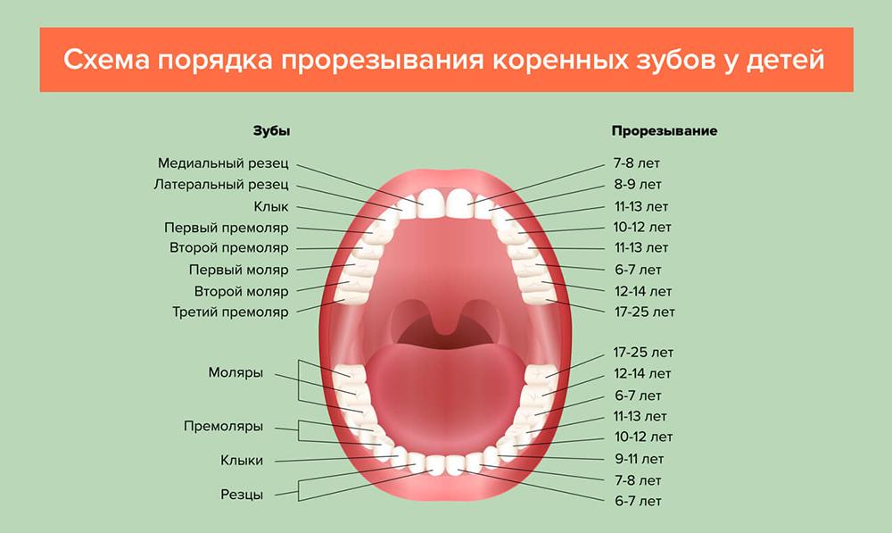 Когда выпадают молочные зубы у детей: схема смены зубов детская.